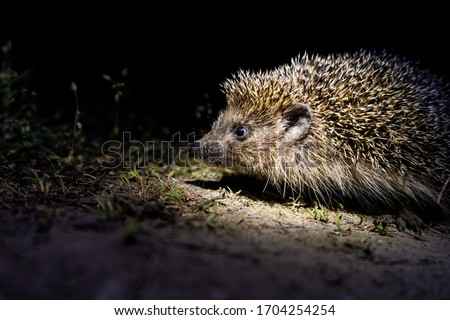 hedgehog at night posing for the camera