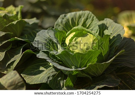 Fresh cabbage from farm field. View of green cabbages plants. Vegetarian food concept.Fresh green cabbage maturing heads growing in vegetable farm. #1704254275
