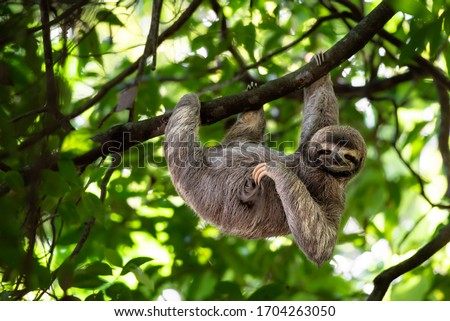 Cute sloth hanging on tree branch with funny face look, perfect portrait of wild animal in the Rainforest of Costa Rica scratching the belly, Bradypus variegatus, brown-throated three-toed sloth, Royalty-Free Stock Photo #1704263050