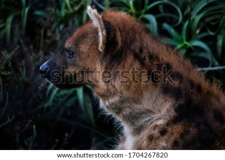 Spotted hyena photographed in South Africa. Picture made in 2019.