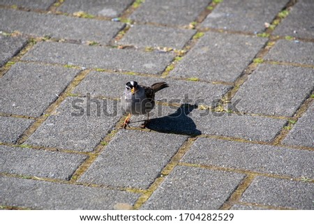 A picture of a White-crowned Sparrows  perching on the ground.     Vancouver BC Canada