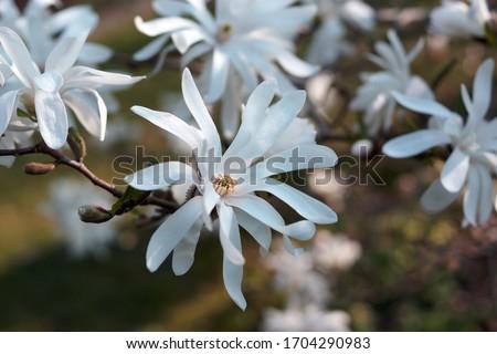 Magnolia stellata flower. White flower star magnolia bloom on Magnolia tree. Single white flower of magnolia, flowering tree in the garden, close up.