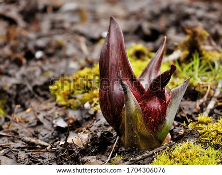 Eastern skunk cabbage  is a low growing plant that grows in wetlands and moist hill slopes of eastern North America. Bruised leaves present a fragrance reminiscent of skunk. #1704306076