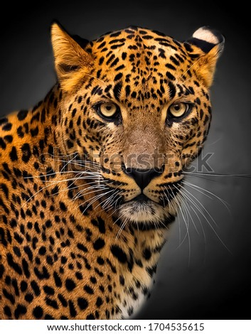 Beautiful picture of Leopard face In wildlife