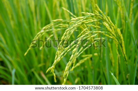 Rice in rice fields that are ready to be harvested #1704573808