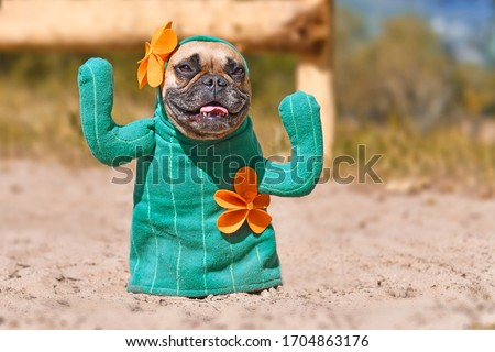 Funny French Bulldog dog dressed up with cactus costume with fake arms and orange flowers standing on sandy ground Royalty-Free Stock Photo #1704863176