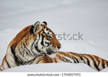 Amur (Siberian) tiger (Panthera tigris altaica) portrait macro close up Royalty-Free Stock Photo #1704897493