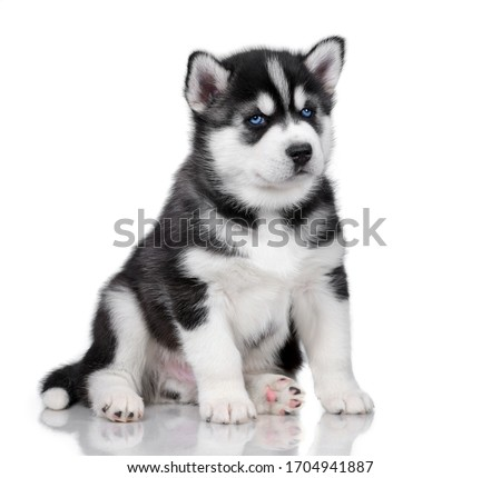Cute little siberian husky puppy on white background Royalty-Free Stock Photo #1704941887