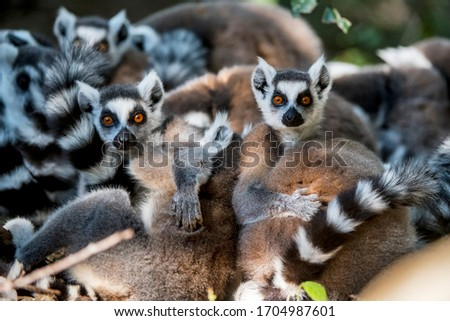 Ring tailed lemur photographed in South Africa. Picture made in 2019.