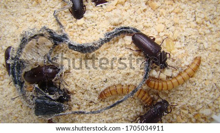 mealworm ; life cycle of a mealworm (Larva and Adult) Meal worms eating lizard carcass . mealworm - superworm | larva  Stages of the meal worm  - the life cycle of a mealworm  ,  meal worms , larvae