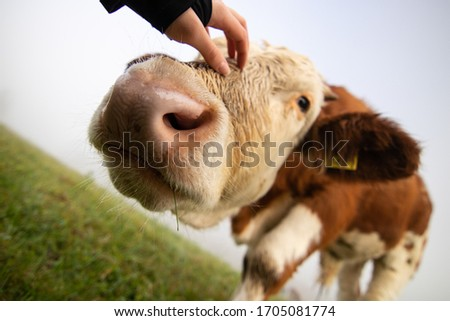 Slovenia: Funny Alpine cow in field all of grass