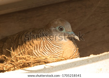 zebra dove incubating innest and wood background.