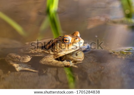 Common toad or European-toad, Bufo bufo in natural environment, floating on spring pond, showing his orange eyes - Czech Republic, Europe wildlife