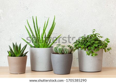 green houseplants succulent aloe vera, gasteria duval, pilea depressa Royalty-Free Stock Photo #1705385290