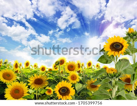 Beautiful sunflowers in the field natural background, Sunflower blooming. Sunny day, Germany in Europe.