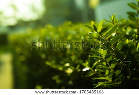 On the picture there is a shrub with very clear green leaves. In the background you see the same shrub, the further away the more blurred the shrub becomes. Royalty-Free Stock Photo #1705485166