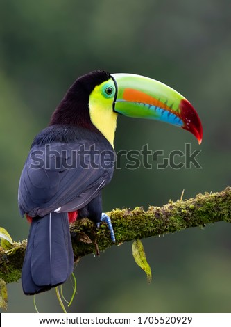 Portrait of Keel-billed Toucan (Ramphastos sulfuratus) closeup perched on a mossy branch in the rainforests of Costa Rica