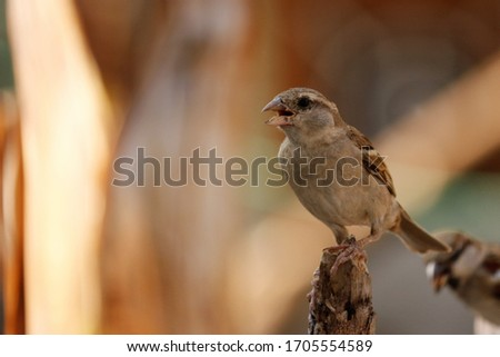 Singing Sparrow Ready to fly to get the food from the Nature's  #1705554589