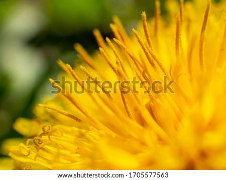 macro yellow dandelion flower with stamen details #1705577563