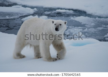 Polar bear walking in the Svalbard area searching for food Royalty-Free Stock Photo #1705642165