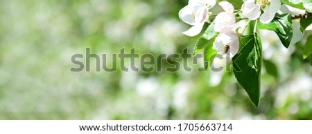 White apple blossoms of an apple tree in the morning sun - banner and Background for website Royalty-Free Stock Photo #1705663714