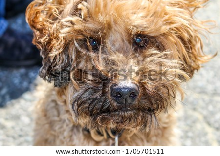 Close up picture of dog cairn terrier poodle cross