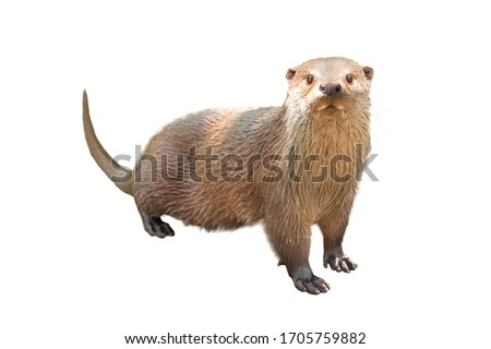 River otter isolated on a white background.