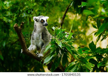 ring tailed lemur catta lives in Madagascar. black and white lemur with a long striped tail. rare kinds of lemurs in the tropic rainforest are close-up. exotic monkey in the jungle. primates in Africa #1705840135