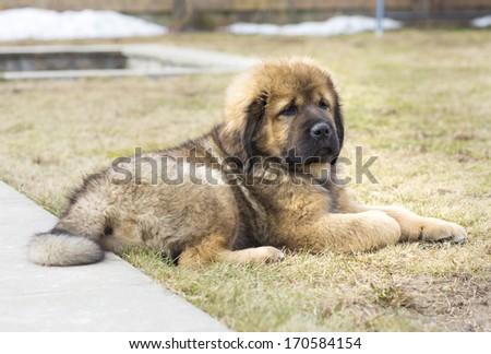 Cute Puppy Tibetan Mastiff outdoors. Horizontal picture #170584154