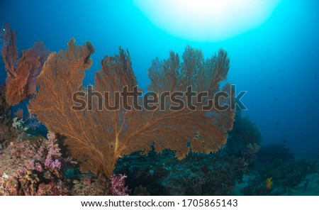 A beautiful gorgonian grows on a coral reef in Myanmar. Sea fans are cnidarians that feed on planktonic organisms.