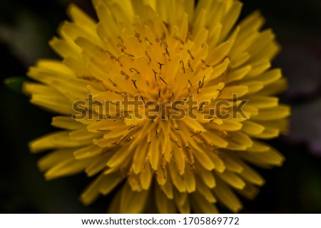 Dandelion macro photo. Yellow dandelion flower. Green dandelion leaves. Dandelions bloom in spring. View from above