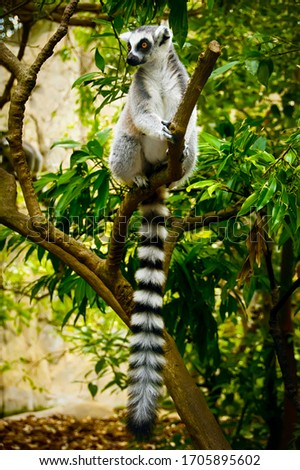 ring tailed lemur catta lives in Madagascar. black and white lemur with a long striped tail. rare kinds of lemurs in the tropic rainforest are close-up. exotic monkey in the jungle. primates in Africa #1705895602