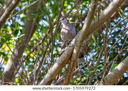 Red eyed dove photographed in South Africa. Picture made in 2019.