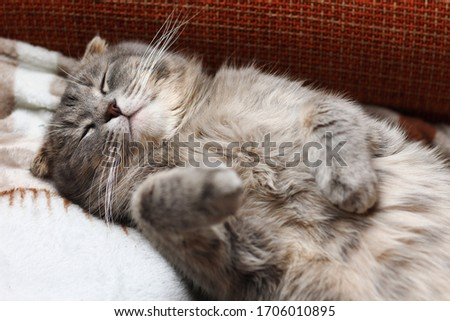 The cat is sleeping on its back. The breed is Scottish fold. Funny background, cheers up and makes you smile, toned
