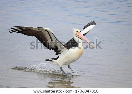 Australian pelican landing on the water Royalty-Free Stock Photo #1706047810