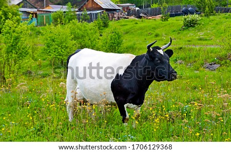 Black and white cow on pasture #1706129368