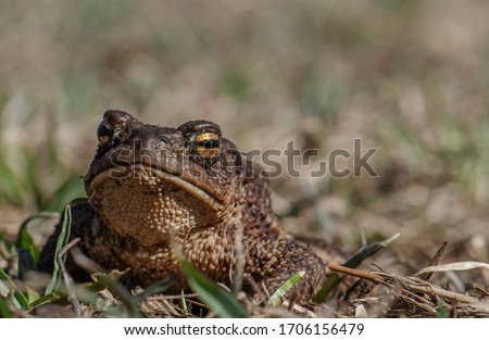 Common toad siting on the ground, European toad in the natural environment. Bufo bufo close up portrait.