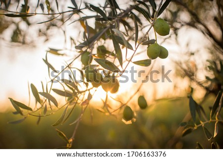 close up shot of an olive tree with fresh olives and leaf in a beautiful sunset light. Olives on a branch. Olive trees on sunset. Sun rays.  Olives plantation in Greece. Ecologic olive farm. field #1706163376