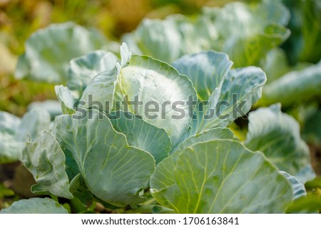 organic cabbage grows in the ground #1706163841