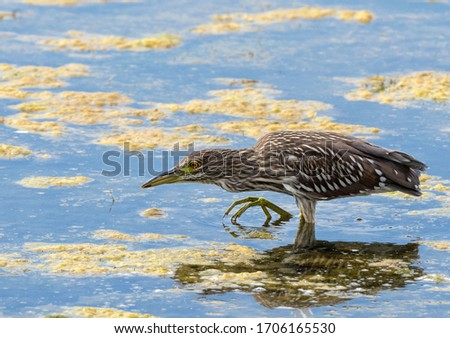 The black-crowned night heron, or black-capped night heron, commonly shortened to just night heron in Eurasia, is a medium-sized heron found throughout a large part of the world, except in the coldest #1706165530