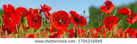 Red poppy flowers in a wild field. Poppies meadow