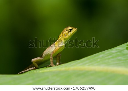 The oriental garden lizard, eastern garden lizard, bloodsucker or changeable lizard (Calotes versicolor) is an agamid lizard found widely distributed in indo-Malaya. This is from India's Western Ghats #1706259490