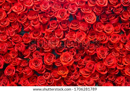 Red roses background. Romance love valentine day decoration bouquet bloom