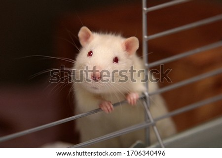 Picture of a rat looking out of a cage