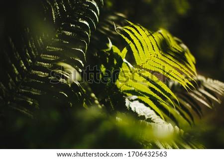 Fern leaves in the sunlight.  Russian forest. Ferns, (Latin Polypodióphyta) - a detachment of vascular plants.  #1706432563