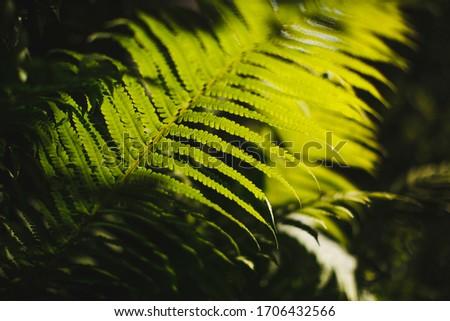 Fern leaves in the sunlight.  Russian forest. Ferns, (Latin Polypodióphyta) - a detachment of vascular plants.  #1706432566
