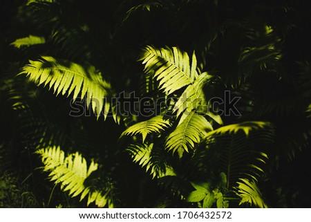 Fern leaves in the sunlight.  Russian forest. Ferns, (Latin Polypodióphyta) - a detachment of vascular plants.  #1706432572