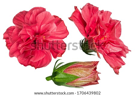 Set of red hibiscus flowers isolated on white background. Shallow depth. Soft toned. Floral summertime. Copy space. #1706439802