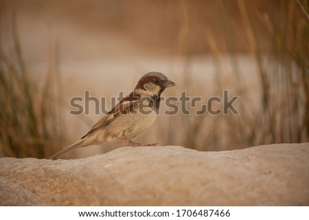 A male House Sparrow. Picture taken in Ein Akev spring, Negev desert, Israel.