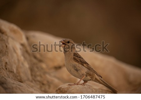 A female House Sparrow. Picture taken in Ein Akev spring, Negev desert, Israel.